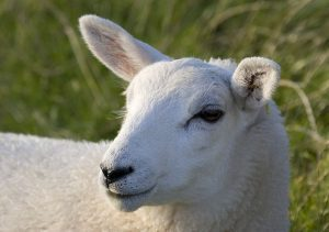 800px-Lundy_lamb_(head_detail)