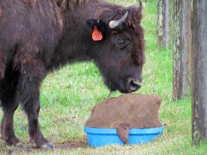 bison211