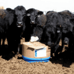 Cattle: LeClair Success Story with SweetPro Blocks, Fresh Start
