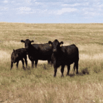 Cattle: AJ Starr Ranch Success Story