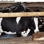 Dairy Cow: Wentworth Bros Dairy Success Story