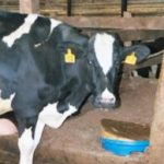 Cattle: Gaymere Farms Success Story of Cows with DA