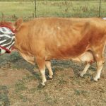 Dairy Cow: Gracie Success Story