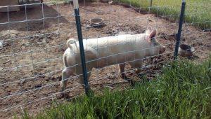 allison-pig