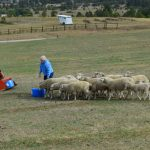 Sheep: MTH Farm Sheep Success Story