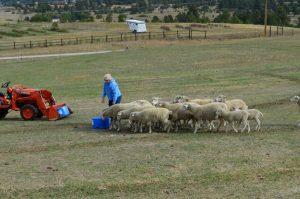 deborah-terry-feed-sheep