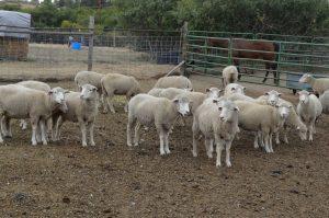 deborah-terry-sheep