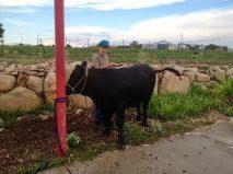 june-steer